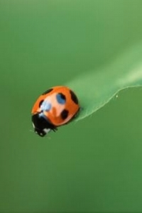 Cute-ladybug-green-mobile-wallpaper-free